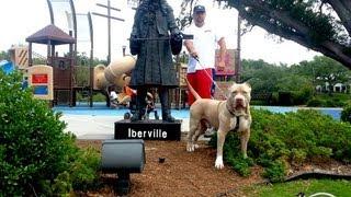 Largest XL Bully Huge blue Pitbull, ManMades King Leonidus: Giant Pitbull(http://www.manmadekennels.com/ https://www.facebook.com/ManmadeKennelsEddie http://www.youtube.com/justarican911 follow us on instagram ..., 2013-03-21T13:54:40.000Z)