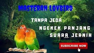 Download Mp3 Lovbird Pasti Langsung Nyauh Masteran Lovebird Ngekek Panjang Suara Jernih Tanpa