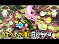 🍄カナヘビ水槽でキノコがニョキニョキ生えてきた🍄【ニホンカナヘビ・爬虫類・きのこリウム】