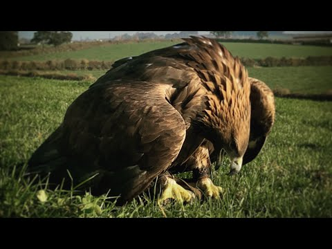Training A Golden Eagle.