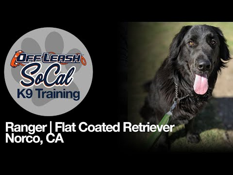 Flat Coated Retriever Off Leash Dog Training  Ranger | Flat Coated Retriever | Norco, CA.