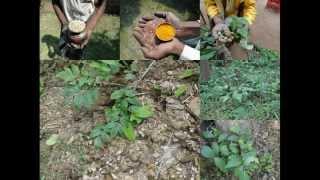 Medicinal Rice P5Z Formulations for Capsicum Overdose: Pankaj Oudhia