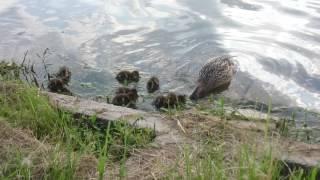 Встреча камышовой жабы и уток