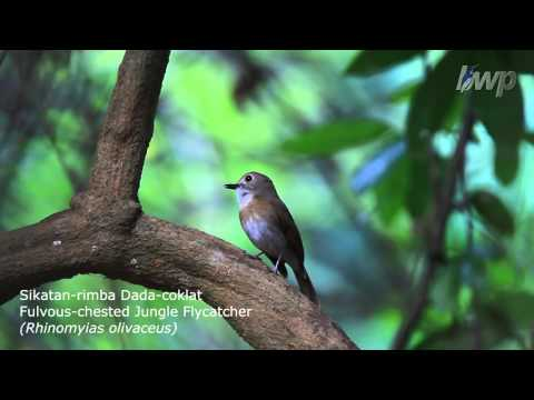 Fulvous-chested Jungle Flycatcher (Rhinomyias olivaceus)