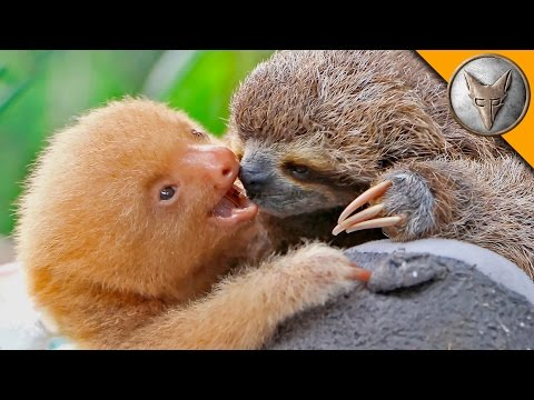 Thumbnail: Sloth vs Sloth!