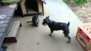ミニチュアシュナウザーのソルトは猫のカナタにまで遊びに誘いますが、...