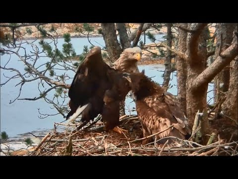 Smola Norway Eagle Cam ~ Solo Tries To Preen Mom But She Doesn't Like It 1.15.18