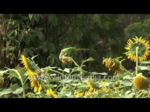 Rose-Ringed Parakeet eats Sunflower seeds