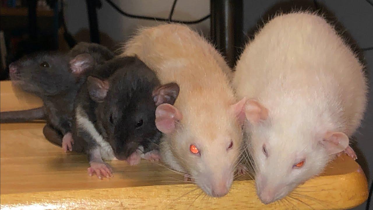 My 4 Current Rats - Quick Rat Highlight