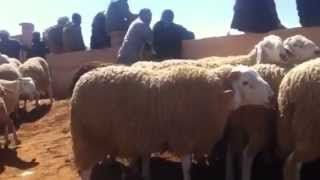 gros mouton d'ouled djellal meilleure race ovine au monde ,,algerie . الجزائر