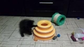 Норвежская лесная - кошка Меган(, 2017-06-17T19:28:15.000Z)