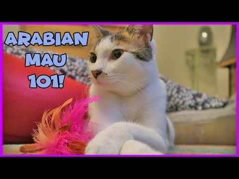 Facts About Arabian Mau - Arabian Mau Cats 101 - Interesting Facts on Arabian Mau Cats from YouTube · Duration:  4 minutes 37 seconds