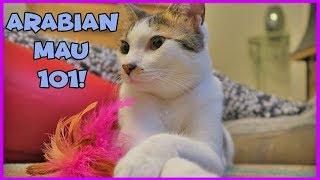 Facts About Arabian Mau - Arabian Mau Cats 101 - Interesting Facts on Arabian Mau Cats
