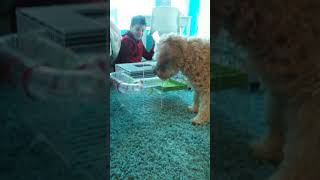 Dog Thinks Hamster Is Little Dog!!! So Cute
