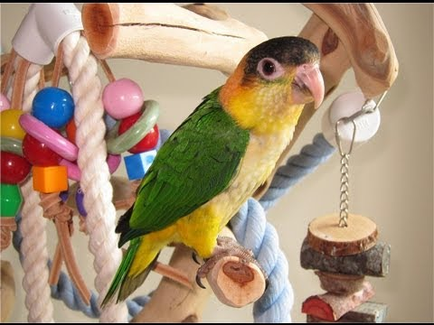 Baby White Bellied Caique — Kiwi