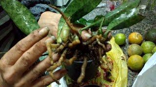 Orquídea selvagem (Oeceoclades Maculata)