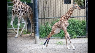 Baby Giraffe Hasani Steps Outside in New Shoes