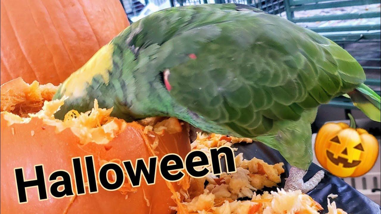 Parrots Love To Eat Pumpkins|Halloween