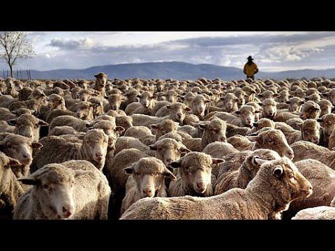 The Amazing Biggest Sheep Farm in Western Australia