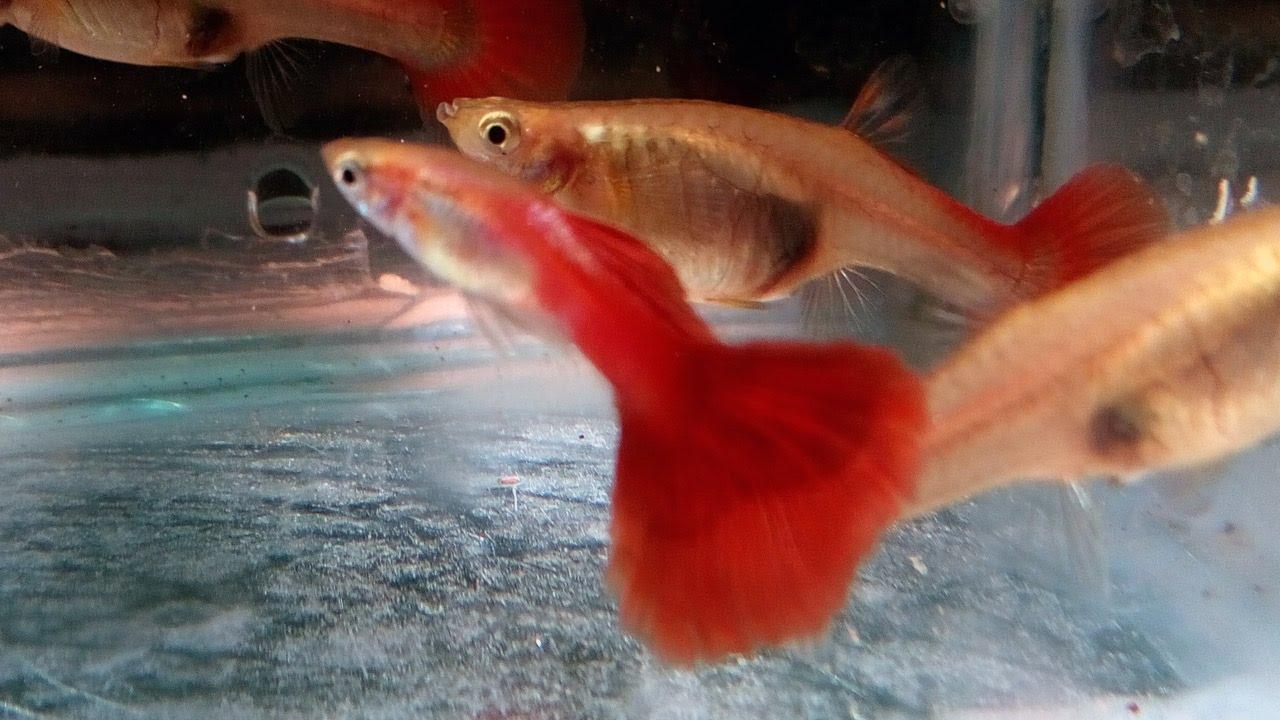 Guppy Fish Farm In Kerala Red Flamingo Pair Youtube
