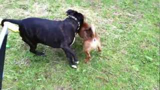 Staffordshire Bull Terrier Floyd Playing With Patterdale Toby Pt3.