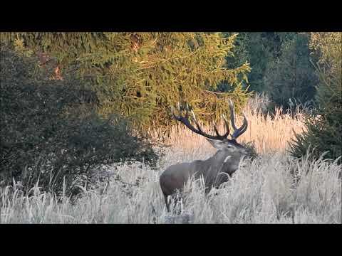 Ohlédnutí za jelení říjí - Videolovy - Life in nature