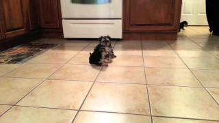 Baby Morkie Puppies Playing - Part 1