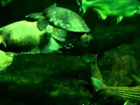 South america fish tank berlin -arapaima