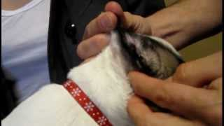 How To Clean Dog Ears - Veterinary Advice