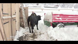 Marceau, Ulysse et leurs vaches Hérens aux Houches