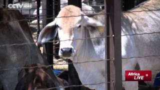 Zimbabwe's Livestock Farmers a Happy lot as Russians Target Beef Imports