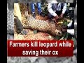 Farmers kill leopard while saving their ox - Maharashtra News
