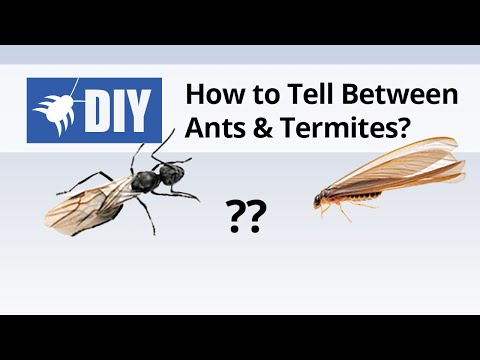 Termites vs Ants - How to Tell the Difference Between Ants & Termites