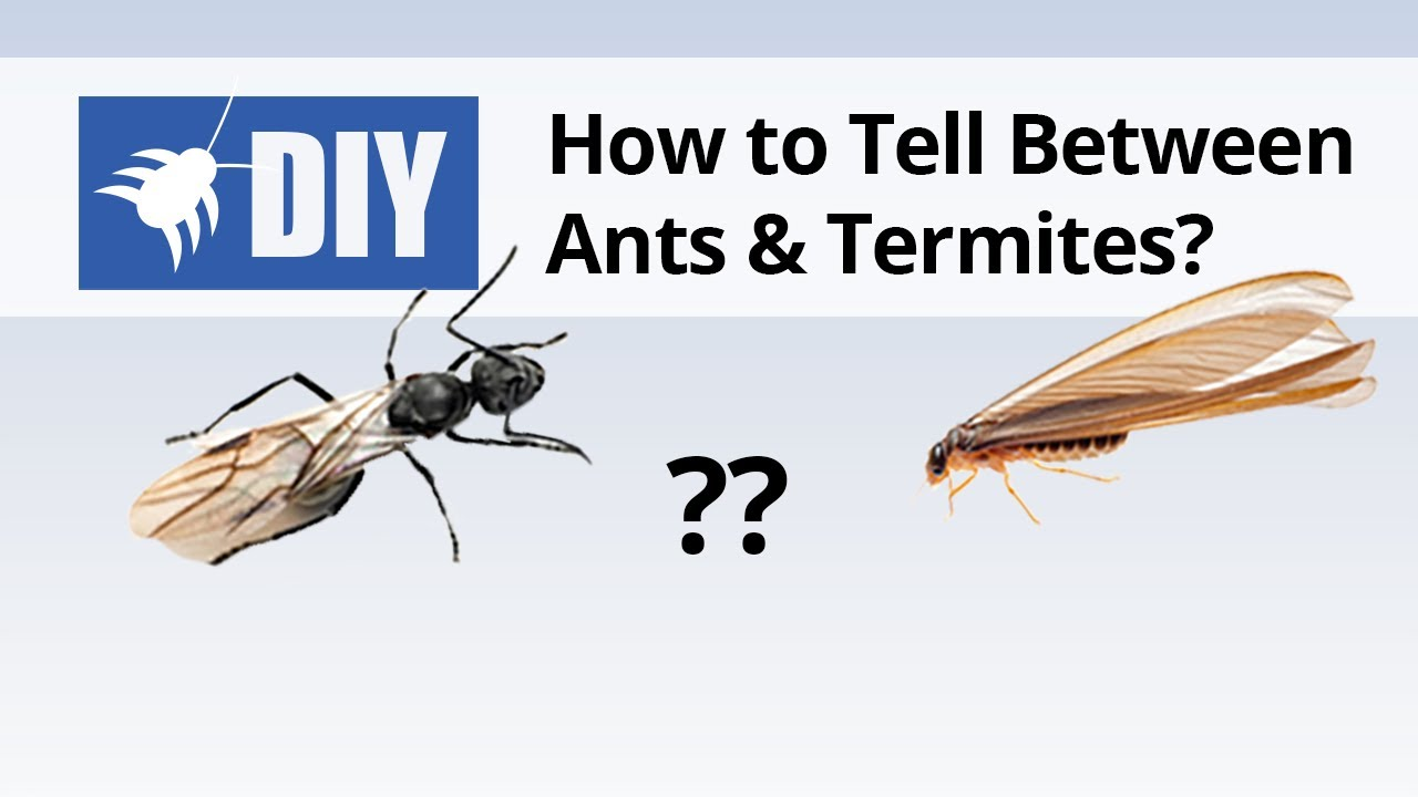 Termites Vs Ants How To Tell The Difference Between Ants Termites Youtube