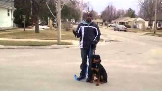 Aggressive Young Rottweiler - Majors Academy Dog Training And Rehabilitation