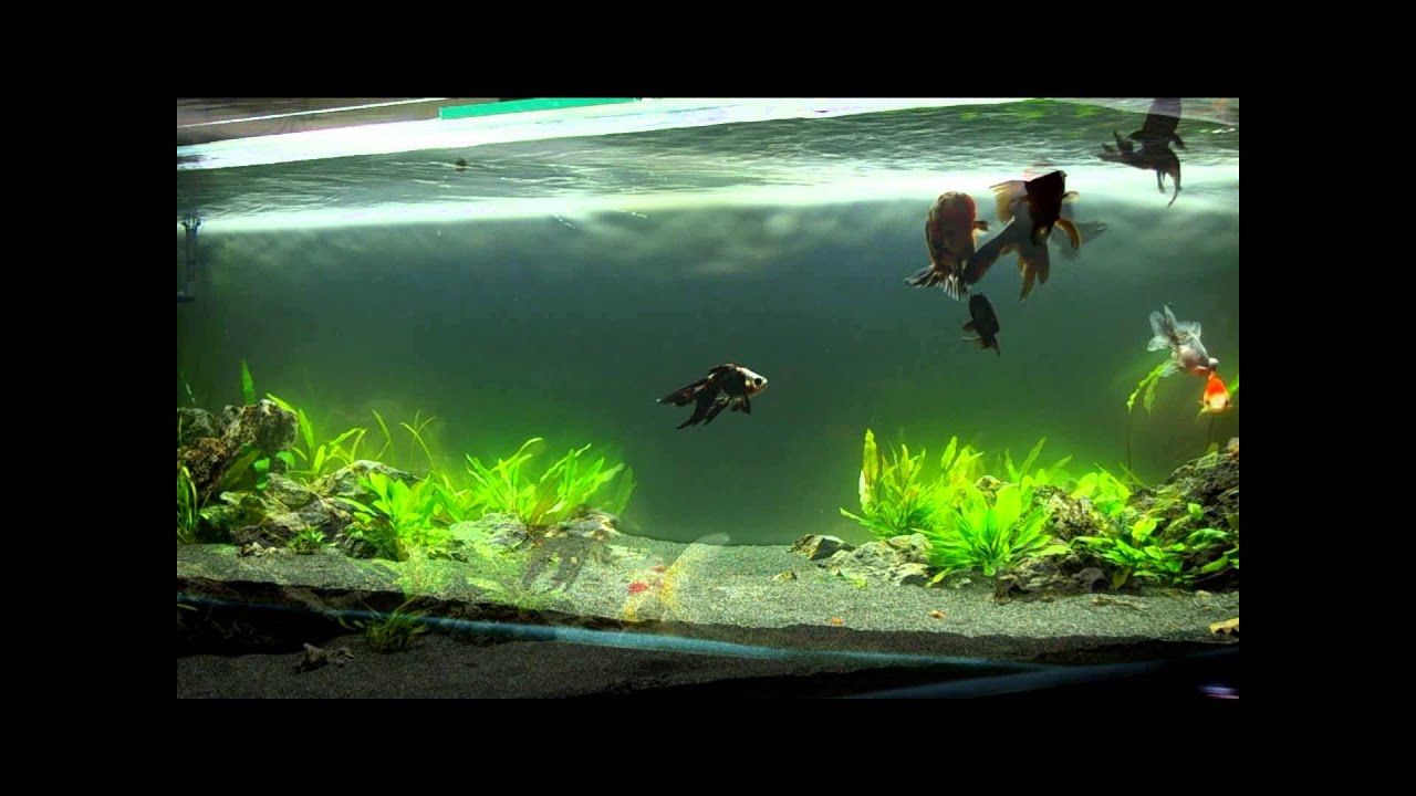 400 litres plant poissons japonais youtube for Aquarium poisson rouge nettoyage