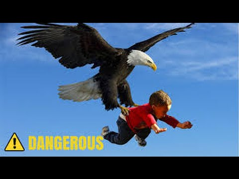 Fly Golden Eagle - Swagger