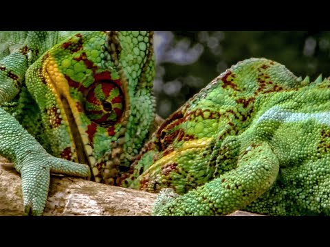 Chameleon Fight | Madagascar | BBC