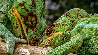 Chameleon Fight - Madagascar - BBC
