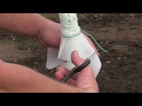 Вопрос: Клейкий пояс для деревьев чем именно помогает?