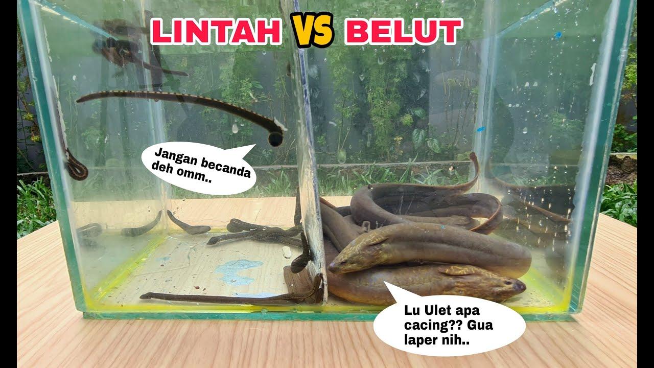 EKSPERIMEN: LINTAH vs BELUT [BATTLE DIDALAM AIR]
