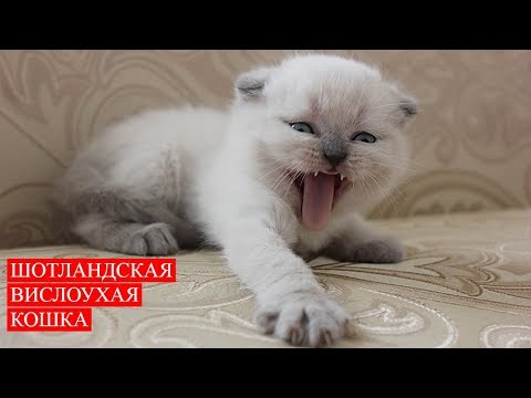 Кошка Шотландская Вислоухая | Котята | Scottish Fold Cat | Kittens