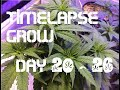 Cannabis LED Grow - Day 20-26(LST, Topping, Mainline, CAT) [Timelapse]