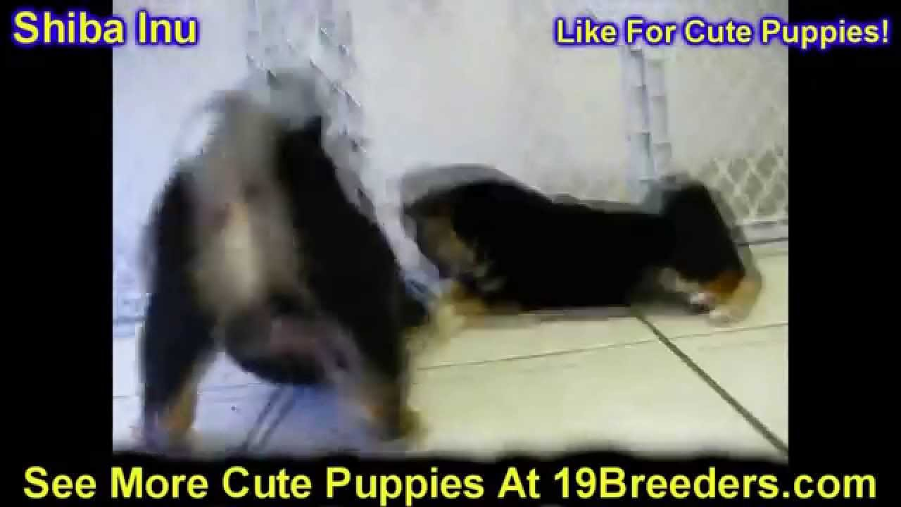 Backpage Charleston Wv >> Shiba Inu, Puppies, Dogs, For Sale, In Charleston, West ...