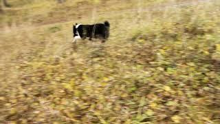 РЕЛ щенок(кобель), продажа 89191218123.