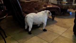 Funny English Bulldog Walking in his New Boots on the Tile