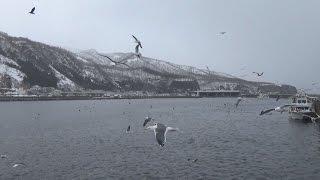 世界自然遺産の北海道・知床の羅臼町沖に、越冬のため国の天然記念物の...