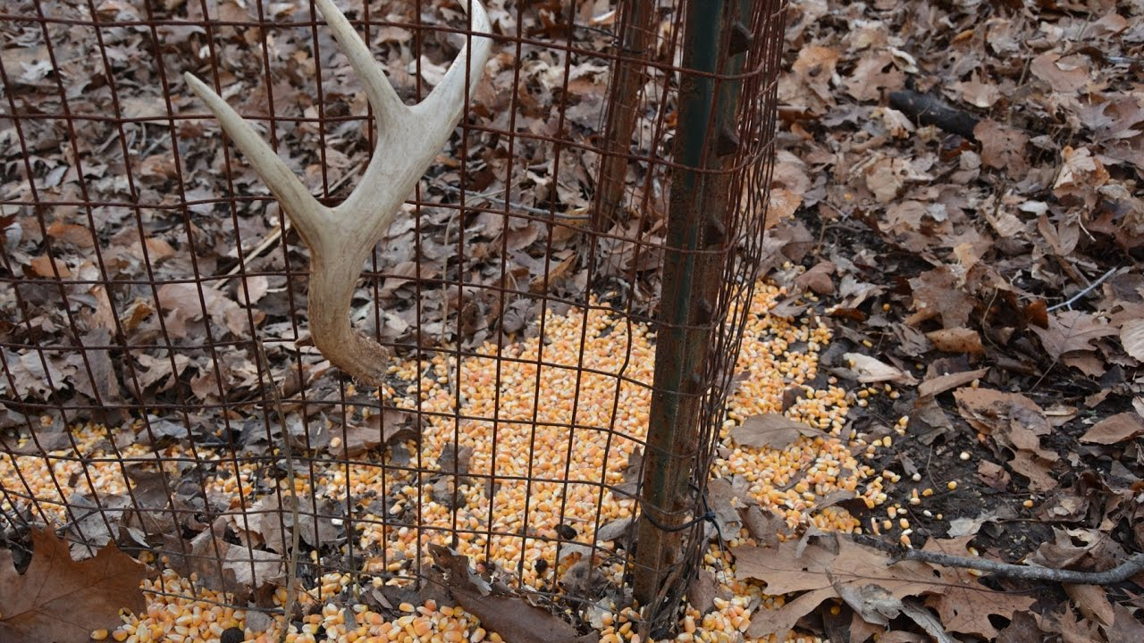 White Gold The Truth About Shed Antler Traps 2016