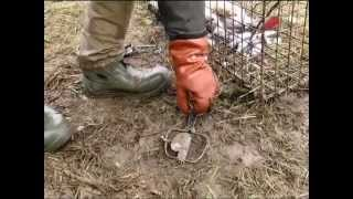 Охота на енота капканами у привады