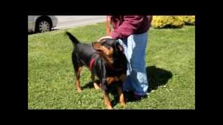 Roxi, A 3-1/2-year-old Rottweiler Rescued In Manahawkin, Nj